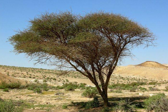 Acacia_Negev-700x467.jpg